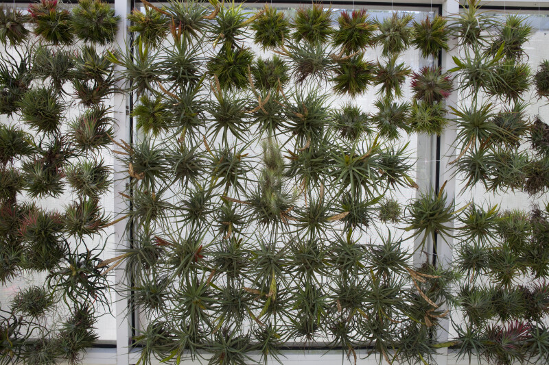 Cluster of Air Plants
