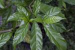 Cluster of Glossy Pinwheel Jasmine Leaves