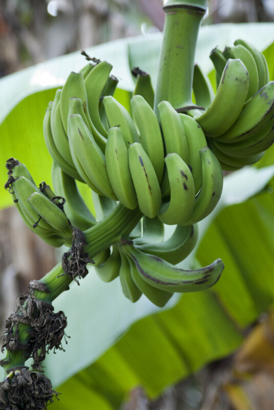 Cluster of Green Bananas
