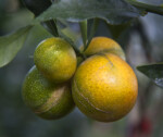Cluster of Meiwa Kumquats