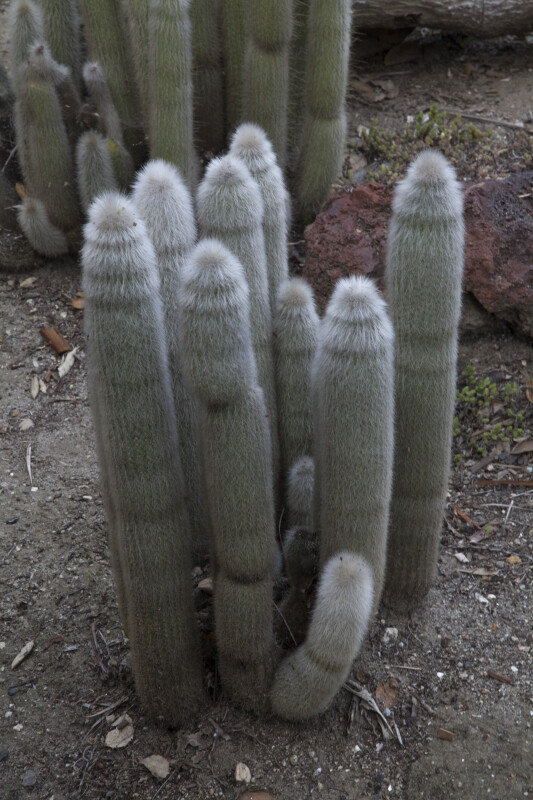 Cluster of Thin Cacti Covered in White Hairs