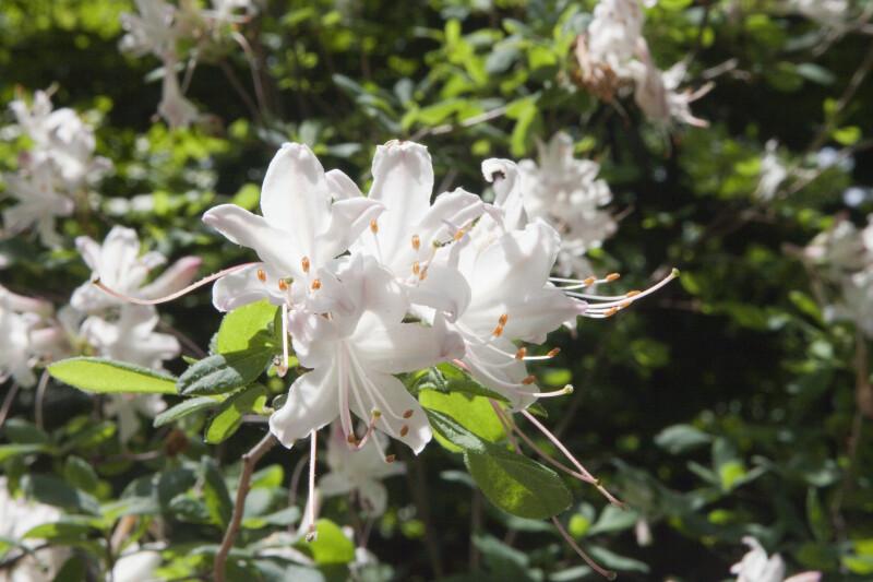 Cluster of White Azalea Flowers