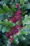 Clustered Berries and Green Leaves of a Brazilian Pepper-Tree
