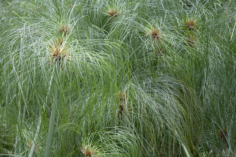 Clustered Papyrus Plant at the Kanapaha Botanical Gardens