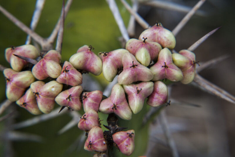Clustered, Tri-Lobed Fruit of a Succulent Plant