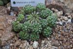 Clustering Cactus