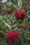 Clusters of Red Berries in a Tree