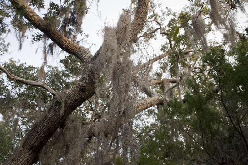 Clusters of Spanish Moss
