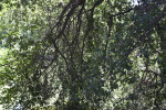 Coast Live Oak Branches and Leaves