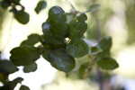 Coast Live Oak Leaves