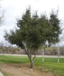 Coast Live Oak Tree at Martha McLean – Anza Narrows Park
