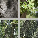Coast Live Oak Trees photographs