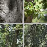 Coast Live Oak Trees photographs