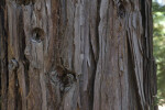 Coast Redwood Bark at the UC Davis Arboretum