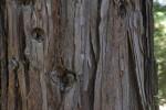 Coast Redwood Bark at the UC Davis Arboretum