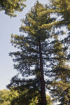 Coast Redwood Tree at the UC Davis Arboretum