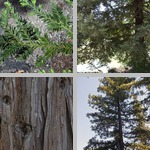 Coast Redwood Trees photographs