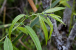 Coastal Plain Willow Branch with Serrated Leaves