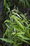 Coastal Plain Willow Branches and Leaves