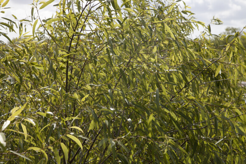 Coastal Plain Willow Close-Up