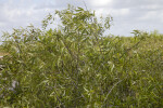 Coastal Plain Willow Leaves and Branches