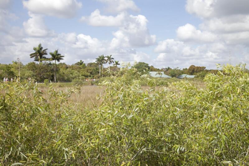 Coastal Plain Willow Shrubs at Anhinga Trail of Everglades National Park