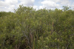Coastal Plain Willows at Anhinga Trail of Everglades National Park