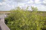 Coastal Plain Willows Growing Along a Boardwalk