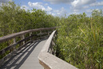 Coastal Plain Willows On Either Side of a Boardwalk at Anhinga Trail of Everglades National Park