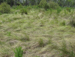 Coastal Prairie Grass