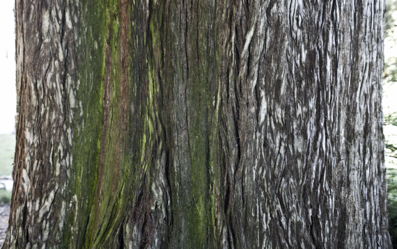 Coastal Redwood Bark with Green Hues