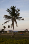 Coconut Palm at the Florida Campgrounds of Everglades National Park