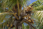 Coconut Palm with Brown to Yellow Fruit