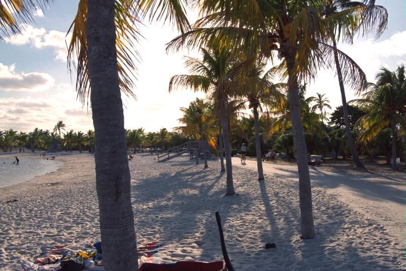 Coconut Palms at Matheson Hammock