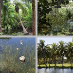 Coconut Palms photographs