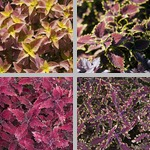 Coleus photographs