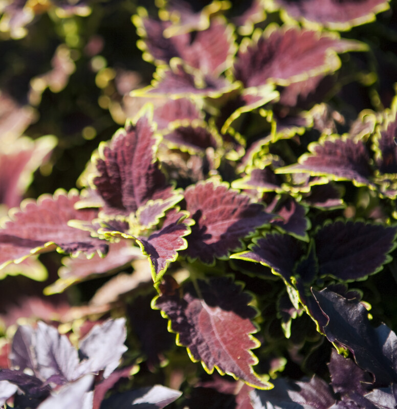 Coleus at the United States Botanic Garden