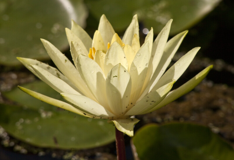 """Colonel A.J. Welch"" Water Lily"