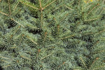 Colorado Blue Spruce Needles