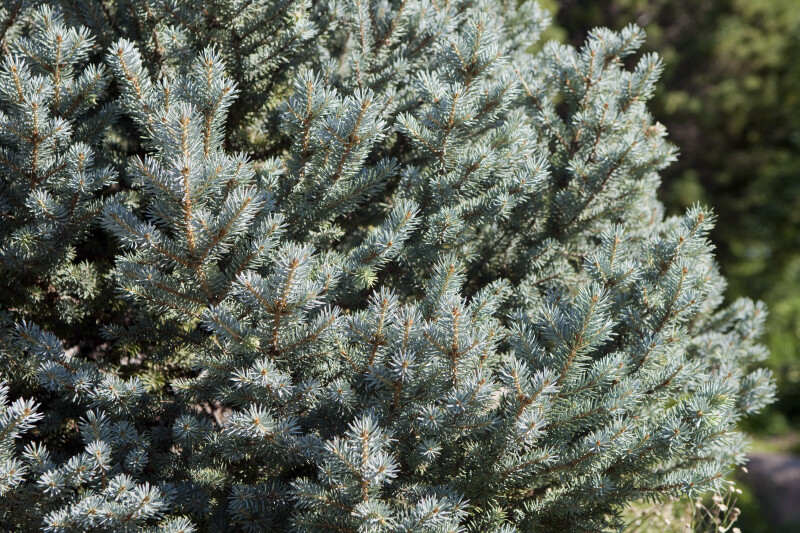 Colorado Blue Spruce Needles
