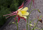 Columbine Flower with Pink and Yellow Colors