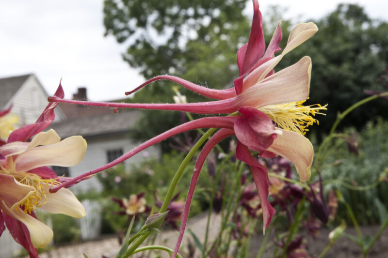 Columbine Flower with Pink, Hairy Spurs Extending Behind the Base of the Flower