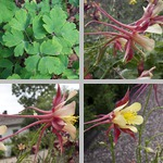 Columbines photographs