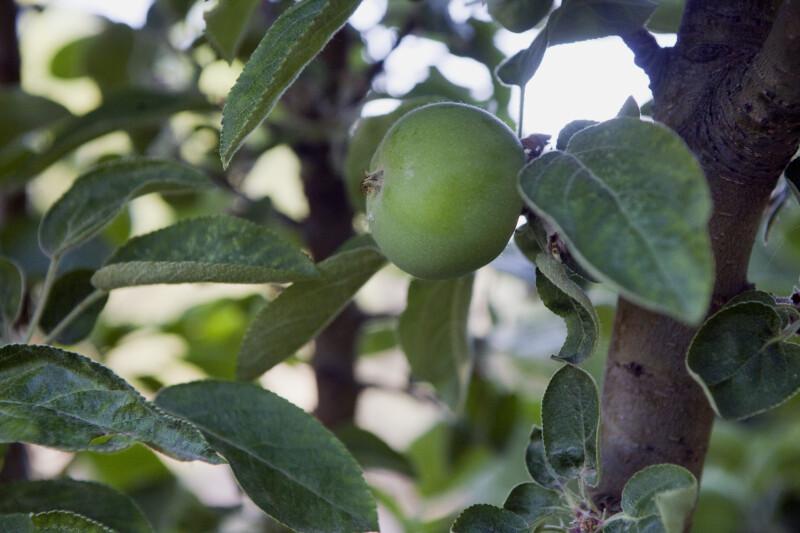Columnar Apple Close-Up