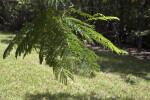 Colville's Glory Branch