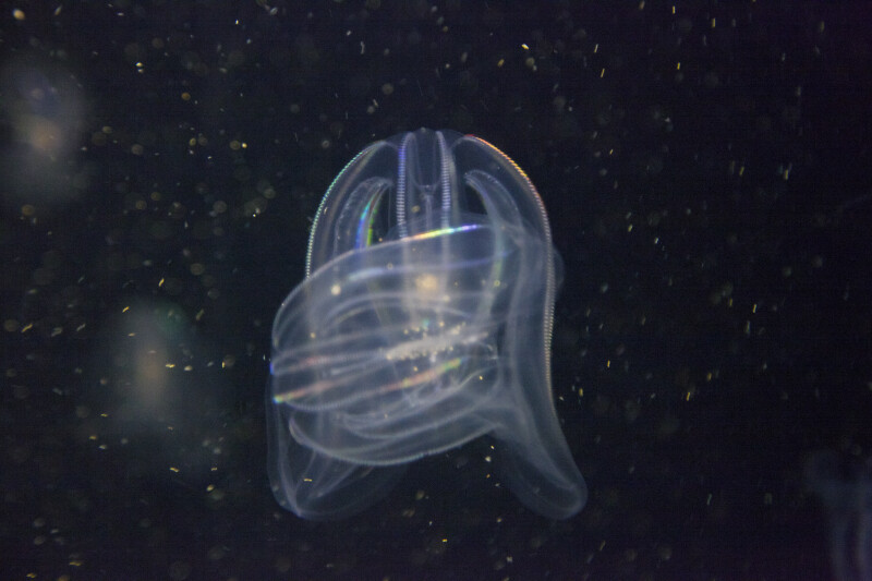 Comb Jellies with Colorful Cilia