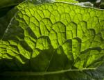 Comfrey Leaf Detail