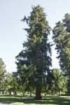 Commemorative Coastal Redwood Tree at Capitol Park in Sacramento