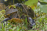Common Cooter Close-Up