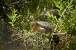 Common Cooter Resting on Vegetation